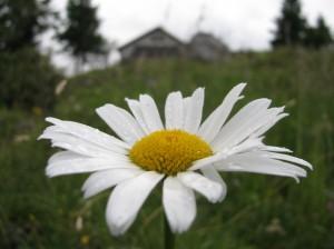 Koča v cvetju